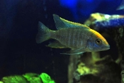 sulfurhead african cichlid for sale