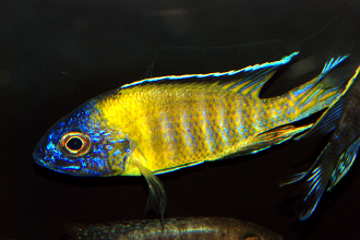 Flavescent Peacock for sale