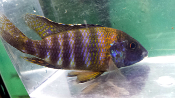 Saulosi Peacock for sale