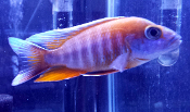 Aulonocara Eureka Red african cichlids for sale